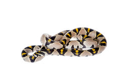 Mandarin Rat Snake isolated on white background. Mandarin Rat Snake, Elaphe Mandarina, isolated on white background stock images