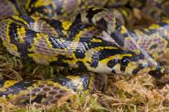Mandarin ratsnake Stock Photography
