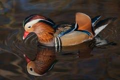 Mandarin reflection Royalty Free Stock Images