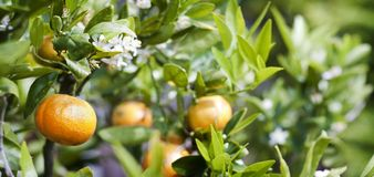 Mandarin tree. Close up on fruit, flowers and leaves of mandarin tree Stock Photos