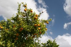 Mandarin tree. In South Africa, Bosch en Dal royalty free stock photography