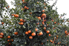 Mandarin tree. Royalty Free Stock Photography