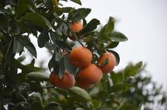 Mandarin tree. Royalty Free Stock Photography
