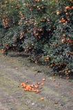 Mandarin tree. Royalty Free Stock Photos