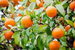 Mandarin tree Royalty Free Stock Images