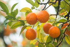 Mandarin tree Stock Photography