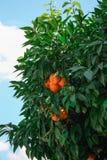 Mandarin tree. Greek mandarin tree with fruits Stock Photos