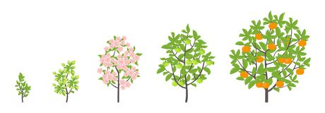 Mandarin tree growth stages. Vector illustration. Ripening period progression. Fruit tree life cycle animation plant seedling. Mandarin tree growth stages royalty free illustration