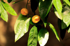 Mandarin tree Stock Image