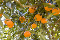 Mandarin tree Stock Images