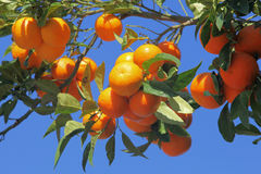 Mandarin tree with many fruits Stock Photography