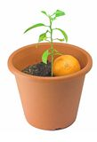 Mandarin tree (a newborn one). With a mandarin on the pot Royalty Free Stock Images