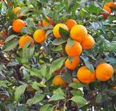 Mandarin tree Stock Images