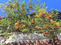 Mandarin tree. From the roof, Eilat / Israel Royalty Free Stock Photography