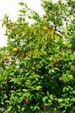 Mandarin tree. Stock Image