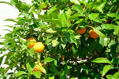 Mandarin tree. Stock Images