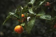 Mandarin tree with water drops royalty free stock image