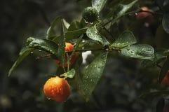 Mandarin tree with water drops royalty free stock image