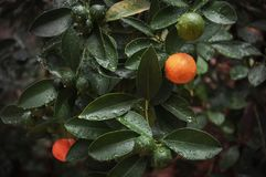 Mandarin tree with water drops stock photo