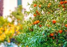 Mandarin Trees of Riviera. Mandarin Trees of Italian Riviera. Trees Full of Fruits. Italy, Europe Royalty Free Stock Image