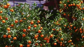 Mandarin Trees Tops on Street Market at Bright Sunlight. Mandarin trees tops full of ripe fruits on street market before Vietnamese new year TET at bright