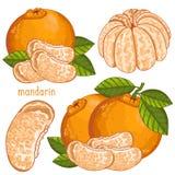 Mandarin , Vector. Royalty Free Stock Photos