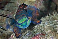 Mandarin vissen Royalty-vrije Stock Foto