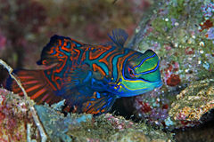 Mandarin vissen Royalty-vrije Stock Afbeelding