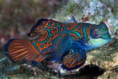 Mandarin vissen Stock Afbeelding