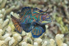Mandarin vissen stock foto