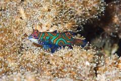 Mandarin vissen bij schemer Royalty-vrije Stock Afbeelding