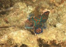 Mandarin vissen - Chinese toppositie, Siniperca-chuatsi royalty-vrije stock foto's