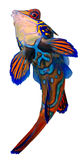 Mandarin Vissen. Synchiropus Splendidus. Royalty-vrije Stock Afbeelding