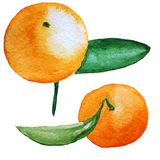 Mandarin watercolor illustration isolated on white Royalty Free Stock Images