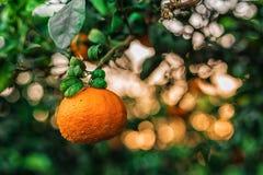 Mandarina Fotos de archivo