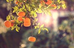 Mandarina Fotografía de archivo libre de regalías