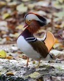 Mandarina Duck. A Mandarina Duck in lengthening its neck in the LIPU Nature Reserve at Racconigi, near Cuneo Stock Photo
