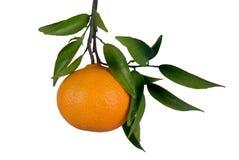 Mandarina en árbol Imagen de archivo libre de regalías