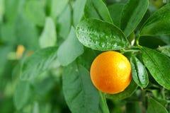 Mandarina en un árbol de fruta cítrica. Foto de archivo
