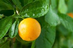 Mandarina en un árbol de fruta cítrica. Fotos de archivo