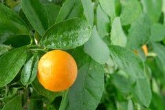Mandarina en un árbol de fruta cítrica. Imagen de archivo