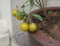 Mandarina en urna de la loza de barro Imagen de archivo