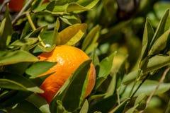 Mandarina o mandarín entre las hojas Foto de archivo