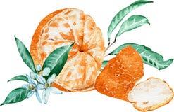 Mandarina pelada con las flores y las hojas aisladas en el fondo blanco Ilustración de la acuarela fotografía de archivo