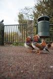 Mandarinaeenden het Stellen Royalty-vrije Stock Foto