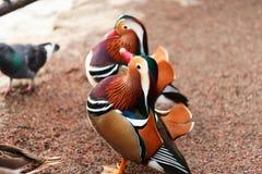 Mandarinaeenden het Stellen Stock Foto