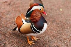 Mandarinaeenden het Stellen Stock Fotografie