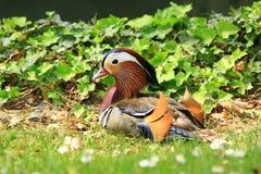 Mandarinand i gräset Royaltyfri Fotografi
