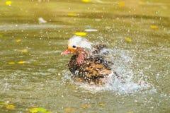 Mandarinanden tar en dusch Royaltyfri Bild