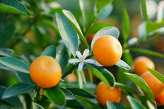Mandarinas crecientes Imagenes de archivo